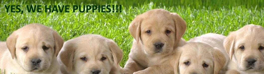 Labrador retriever puppies San Diego