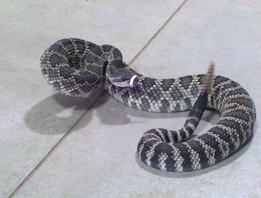 Rattlesnake avoidance training is necessary to avoid this guy
